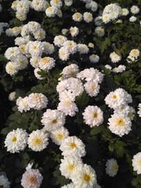 雪白的小菊花