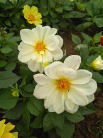一对小白花