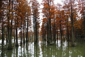 冬日风景池杉林