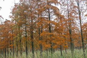 红色池杉林