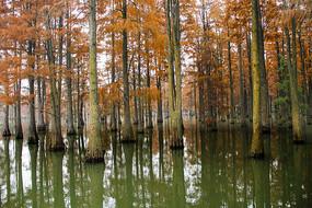 青西池杉林
