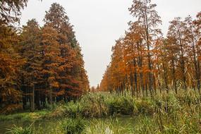 湿地彩色池杉林