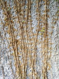 墙上藤条根