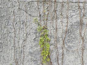 水泥拉毛墙绿叶