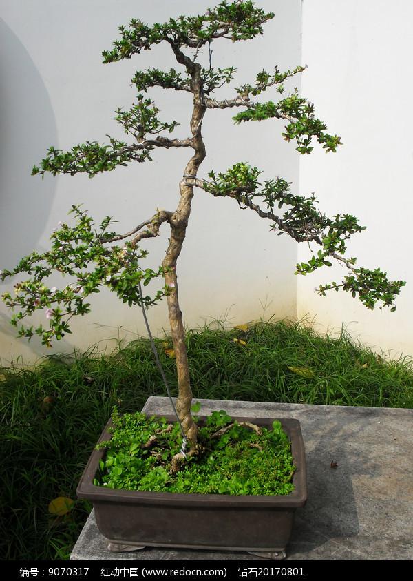 白色背景植物盆栽