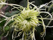 白色菊花的细长花瓣