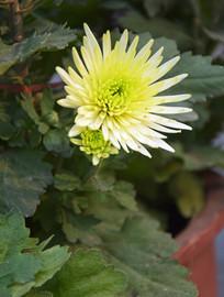 淡黄色的菊花