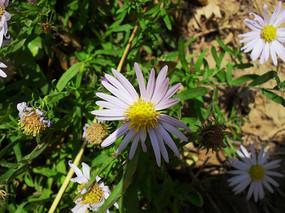 淡紫色花瓣野菊花