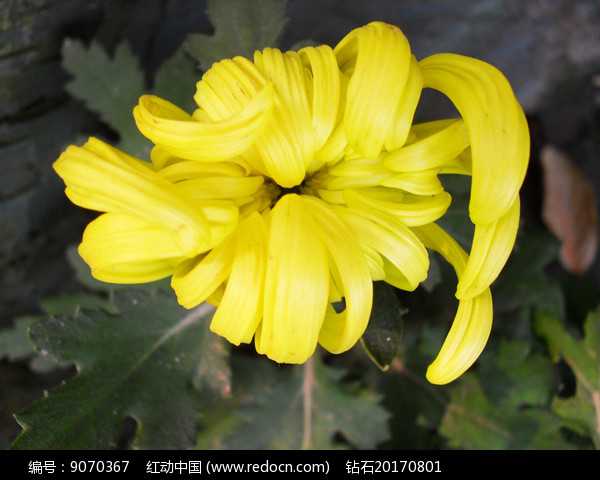 含苞待放的黄菊花图片