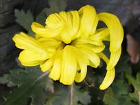 含苞待放的黄菊花