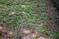 红绿相间的爬山虎