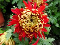 红色花瓣的菊花