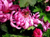 开放的粉红菊花高清图