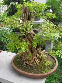老树开新芽盆栽