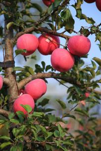 苹果树特写