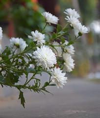 秋天里的白色菊花