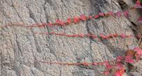 石头上的红色爬山虎