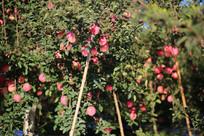 甜美诱人的烟台有机苹果