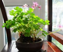小花草盆景绿植
