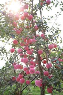 烟台有机苹果树