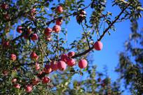 诱人的有机苹果