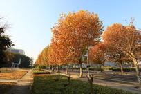 黄叶漫天的校园