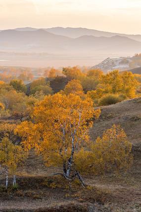 金色的白桦树