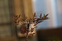 冬天的红叶树苗