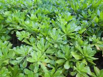 草海桐绿色叶子背景