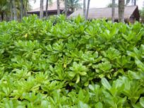 海岸防风植物草海桐
