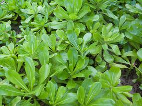 绿色的草海桐枝叶