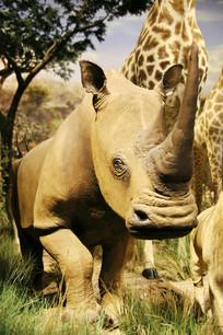 动物标本独角犀牛