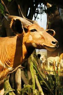动物标本角牛