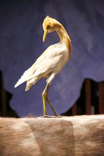 动物标标本牛背上的鹤鸟