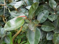 桑科榕属植物印度榕
