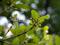 竹节树果实
