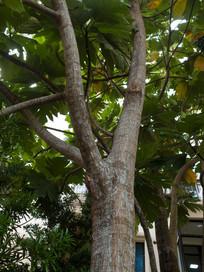 面包树树干