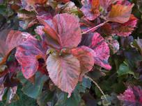 红桑五彩斑斓的叶子