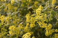 近拍野菊花图片