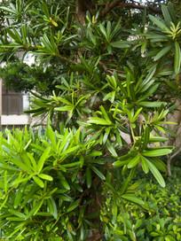 兰屿罗汉松绿色的叶子