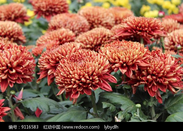 红色金边的菊花图片