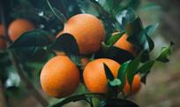 带绿叶的橙子
