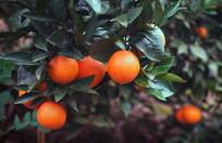 果园的橙子