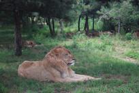 草地地上的狮子