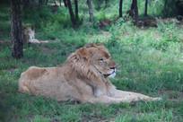 草地上的雄狮