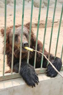 给棕熊投喂食物
