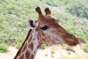 近拍长颈鹿的头部