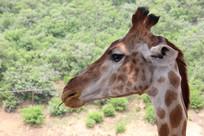 近拍长颈鹿头部