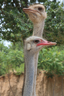 可爱的鸵鸟头部