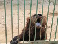 笼中张嘴讨食物的棕熊
